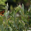 Viceroy Butterfly Ovipositing on Willow Shrub 1