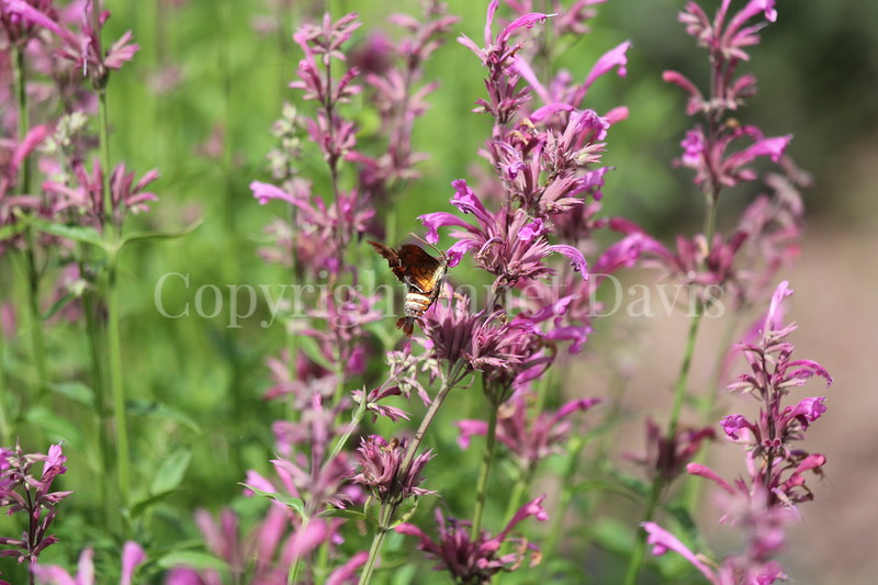 Nessus Sphinx Moth on Mexican Giant Hyssop 2