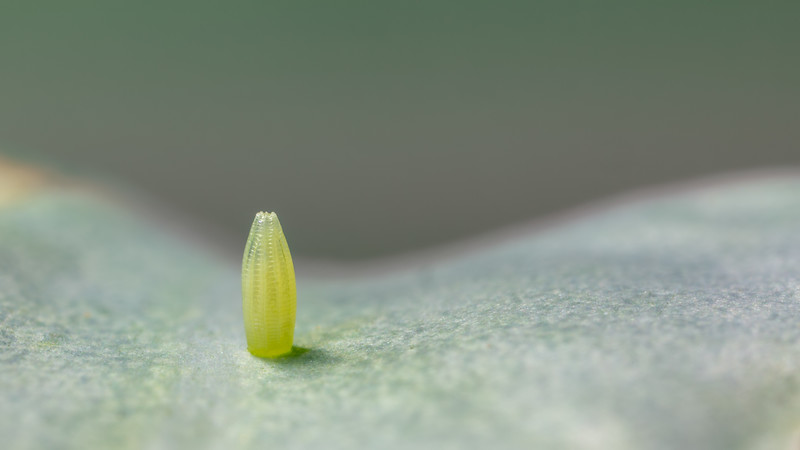 Egg of the Small White / Pieris rapae / Eitje van een Klein koolwitje