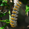 Westeren sheep moth caterpillar (Hemileuca eglanterina)
