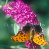 Question Mark Butterfly on Butterfly Bush