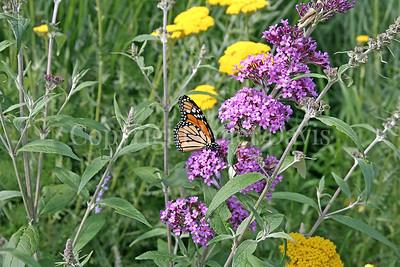 Monarch Butterfly on Butterfly Bush 2