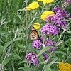 Monarch Butterfly on Butterfly Bush 2