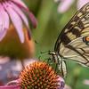 Butterfly E4A6298