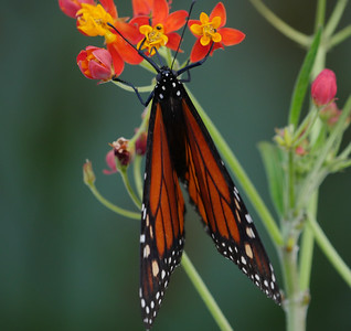 monarch on milkweed