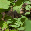 Northern cloudywing (Thorybes pylades)