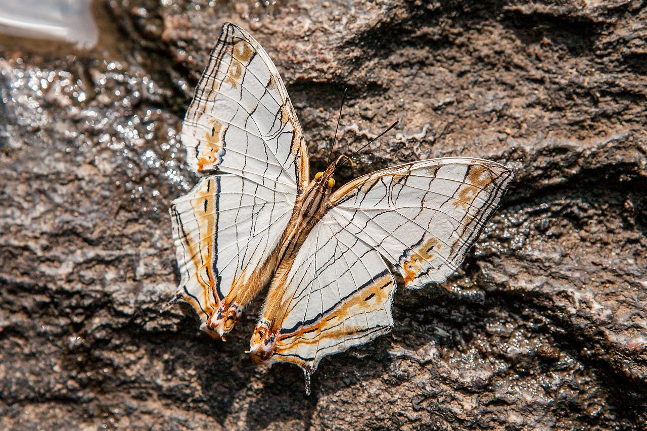 Common map butterfly at Iruppu waterfalls in Coorg, Karnataka