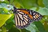 monarch-2193