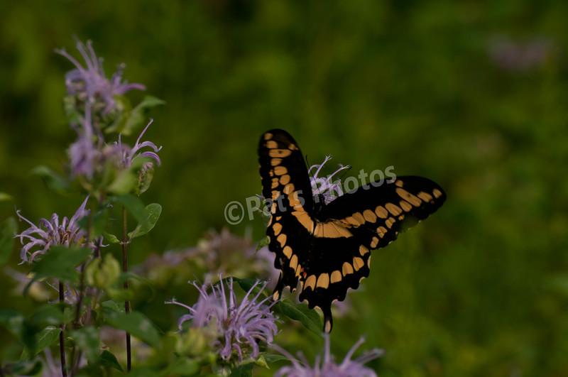 Butterfly White Lake, NJ