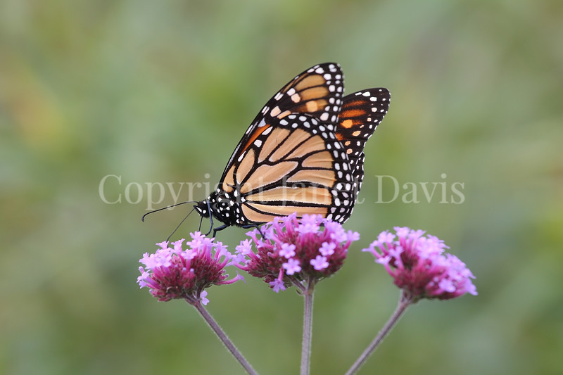 Monarch Butterfly on Tall Verbena 4