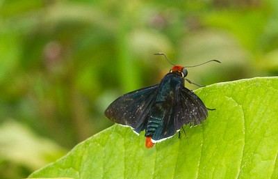 Firetip skipper (Pyrrhopyge thericles pseudophidias) from Panama.