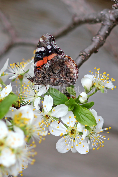 Red Admiral Butterfly on Plum Blossoms 1