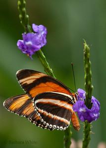 Orange Barred Tiger Butterfly