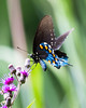 Pipevine Swallowtail Blues