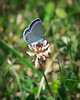 Eastern Tailed Blue