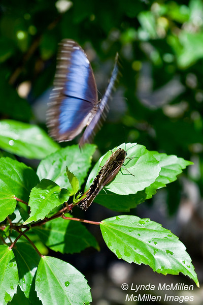 St. Martin's butterfly farm during mating season!