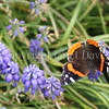 Red Admiral Butterfly on Grape Hyacinth 2