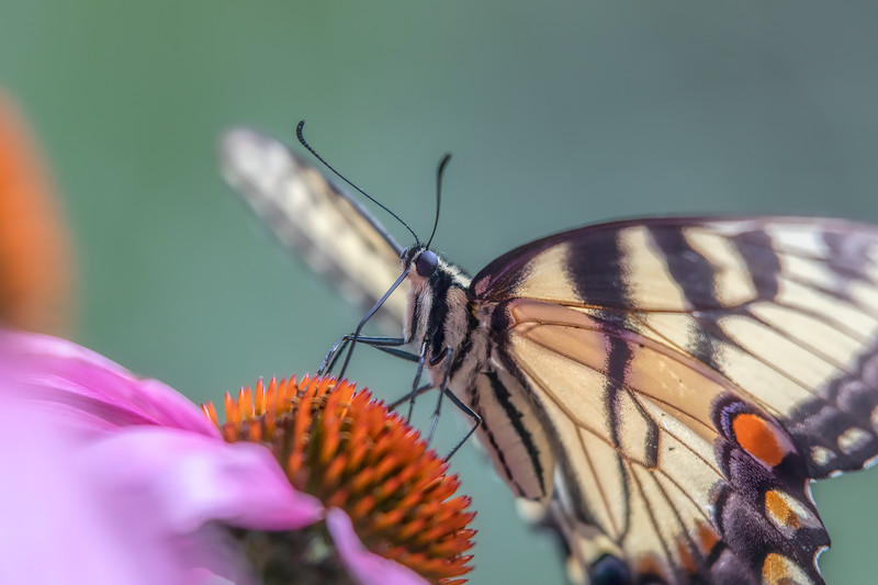 Butterfly 69A3885