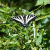 Pale swallowtail   (Papilio rutulus)
