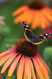 Red Admiral Butterfly on Echinacea 'Mama Mia' 4