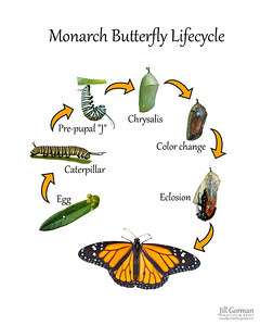 lifecycle monarch