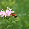 Hummingbird Clearwing Moth on Wild Beebalm 1