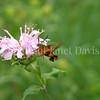 Hummingbird Clearwing Moth on Wild Beebalm 1