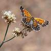 Endangered Langes Metalmark butterfly on Naked Buckwheat stem