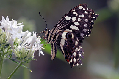 """African White Swallowtail"""