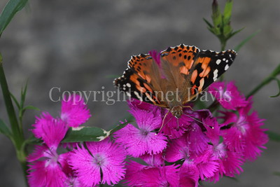 Painted Lady Butterfly on China Pinks 3