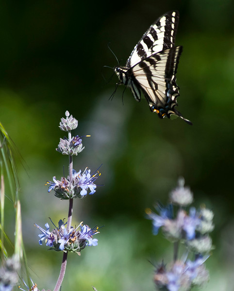 Western Tiger Swallowtail   (Papilio rutulu)