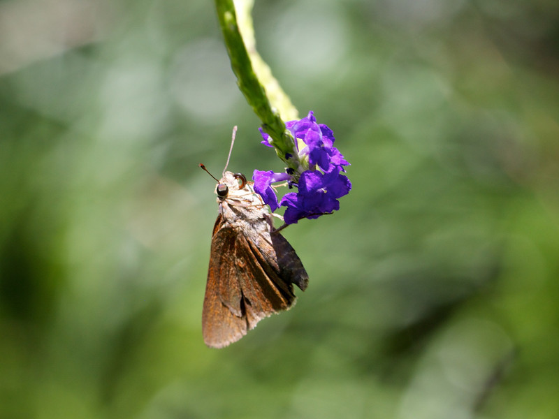 three-spotted skipper on porterweed