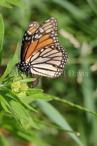 Monarch Butterfly Ovipositing on Butterfly Milkweed 3