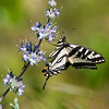 Western Swallowtail on sage<br /> Papilio rutulus
