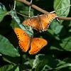 Gulf fritillary butterflies