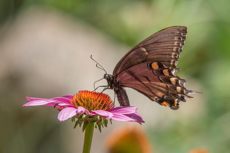 Butterfly E4A5964