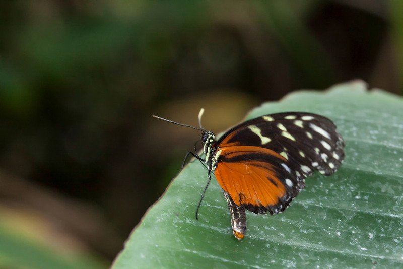 Hecales Longwing Red and brown butterfly on a leaf