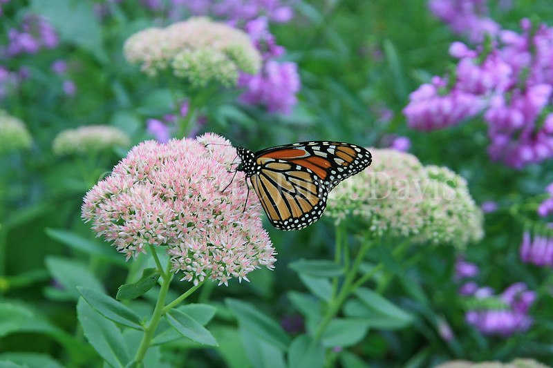 Monarch Butterfly on Sedum 'Autumn Joy' 1