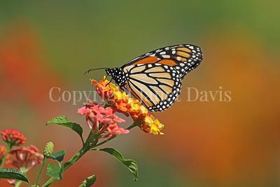 Monarch Butterfly on Lantana 5