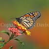 Monarch Butterfly on Lantana 5
