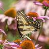 Butterfly E4A6292