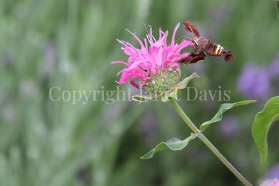 Nessus Sphinx Moth on Beebalm