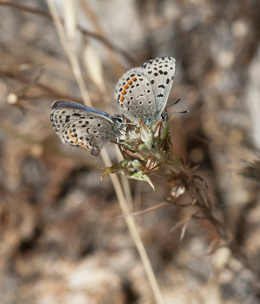 Smith's blue butterfly