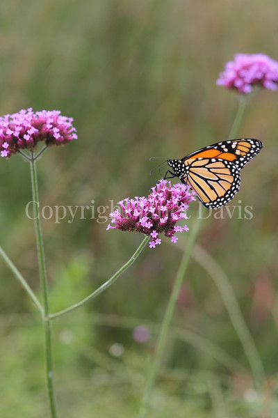 Monarch Butterfly on Tall Verbena 3