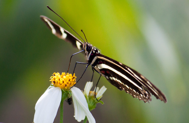 zebra longwing on spanish needle flower