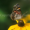American Painted Lady on Blackeyed Susan 1