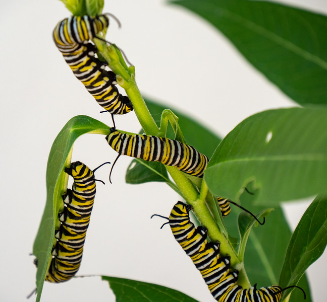 monarch caterpillars