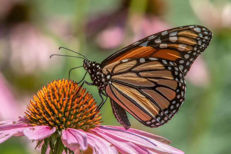 Butterfly E4A5751