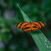 Banded Orange