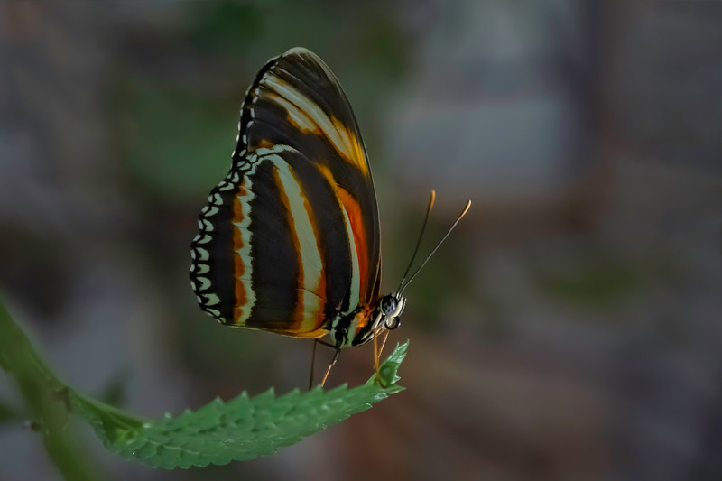 Banded Orange Longwing